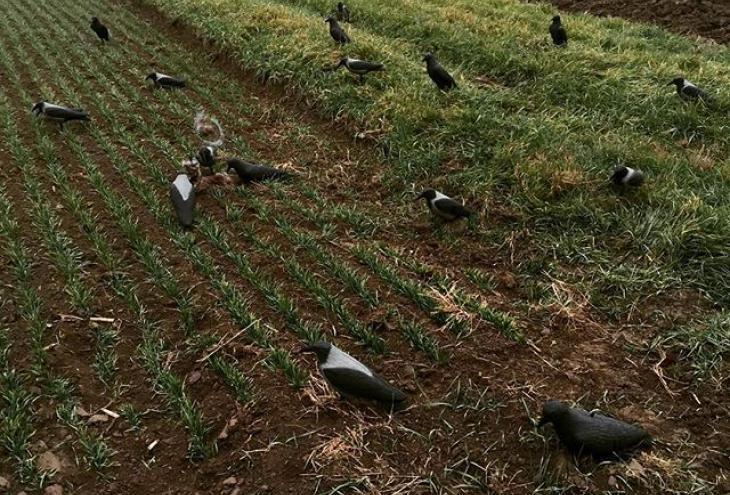 Campo agricolo con cornacchie